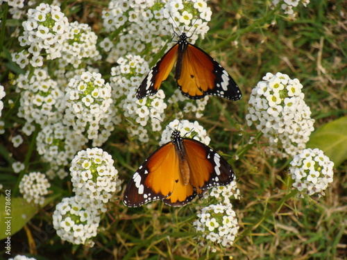 Two butterflies at the same time