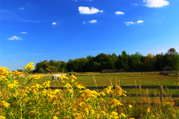 Rural summer landscape with blooming ragweed in foreground