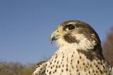 a closeup of a Peregrine falcon - Merlin crossbred raptor poster
