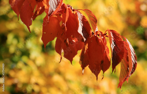 Cherry tree leaves in autumn