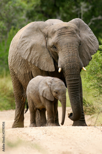Poster African Elephant