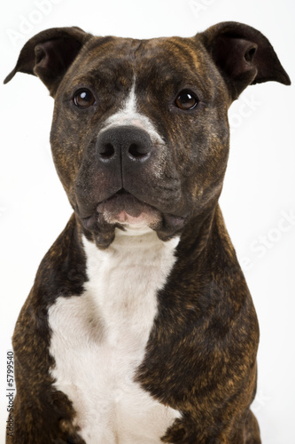 beautifull american staffordshire terrier