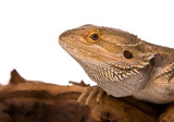 Bearded Dragon on a piece of wood close up poster