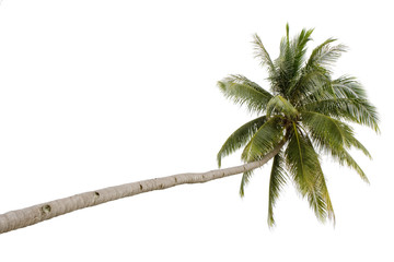 Palm tree isolated on white background..