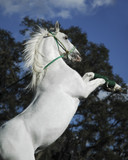 Rearing White Stallion poster