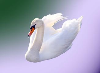 a very nice swan