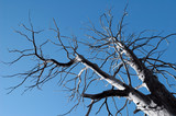 bare winter tree abstract against blue sky poster