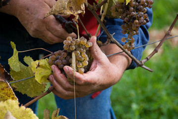 grapes are harvested  for sweet white Jurancon wines.