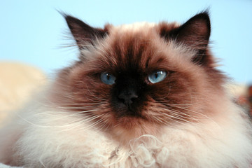 disgruntled looking himalayan male cat looking off to the side