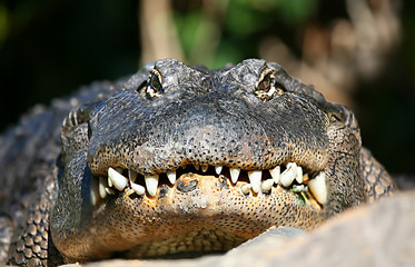 Alligator Face