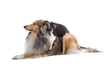 collie dogs isolated on white
