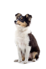 collie dog isolated on white