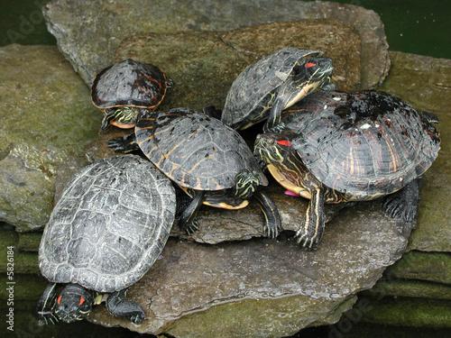 Tartarughe d 39 acqua immagini e fotografie royalty free su for Acqua tartarughe