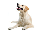 golden retriever   dog isolated on a white background poster