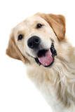 golden retriever portrait dog isolated on a white background poster
