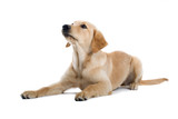 golden retriever puppy isolated on a white background poster