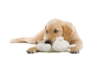 golden retriever puppy with a stuffed toy