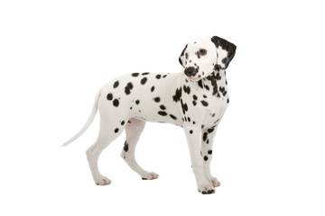 dalmatian puppy  isolated on a white background
