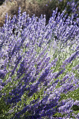 Lavende around the city of Sault in Vaucluse, Provence, France