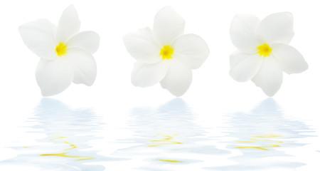fleurs frangipanier avec reflet