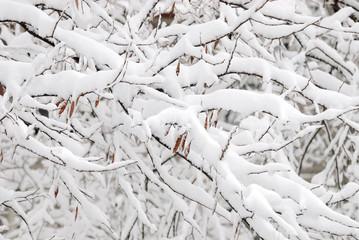 Fresh snow on tree branch