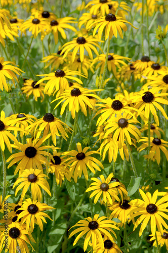 Large group of Rudbeckia or Black-eyed susan flowers