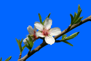 Mandelblüte vor blauem Hintergrund