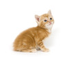 Yellow kitten on white background