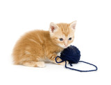 Yellow kitten and blue yarn poster