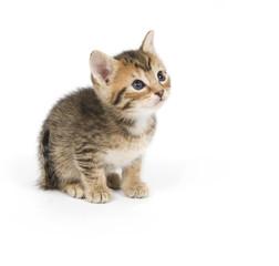 Shy tabby kitten
