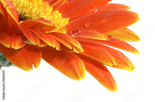 Foto op Canvas Madeliefjes gerbera daisy with a water drops isolated with Path