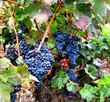 Rotwein Traube Tempranillo 01