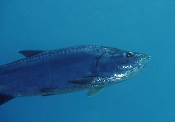 A great Tarpon in the Caribbean Sea