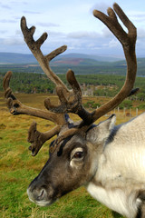 Head and shoulders portrait of a reindeer