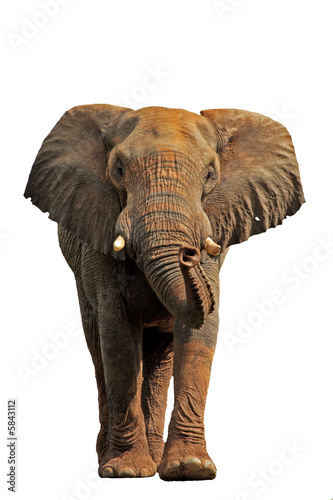 Fotobehang Leeuw African elephant isolated on a white background