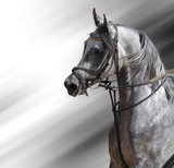 Portrait of dapple-grey arabian horse poster