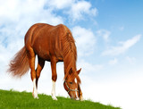 sorrel foal - realistic photomontage poster