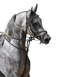 Arabian horse - isolated on white poster