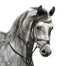 Portrait of dapple-grey arabian horse - isolated on white poster