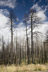 Forest Fire - Kaibab National Forest Arizona USA (AM)