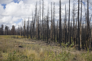 Forest Fire - Kaibab National Forest Arizona USA (AK)