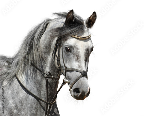 Portrait of dapple-grey arabian horse - isolated on white