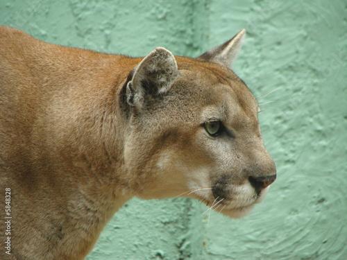 Papiers peints Puma Florida panther 2 Felidae carnivora
