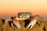 Common shore crab poster