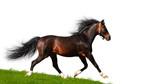 Arabian stallion trots - isolated on white poster