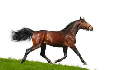 Hanoverian stallion trots - isolated on white