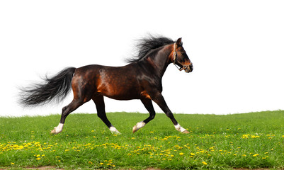 Arabian stallion trots - isolated on white