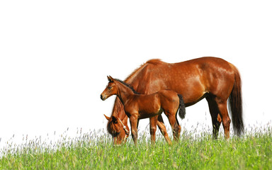 foal and mare in a field - isolated on white