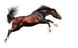 arabian horse jumps - isolated on white poster