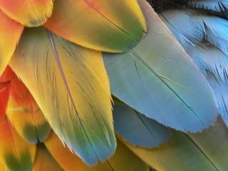 plume perroquet